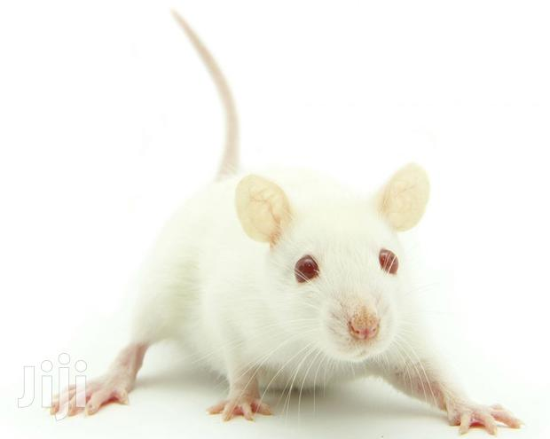 Archive: Pet Mice For Sale