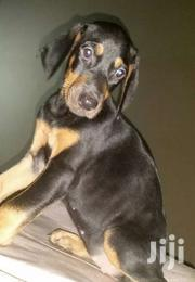 Pure Doberman Puppies Available For Sale | Dogs & Puppies for sale in Eastern Region, Asuogyaman