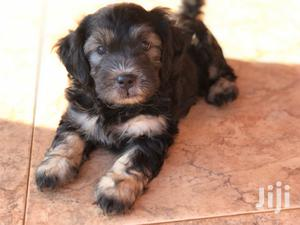 Young Female Purebred Poodle
