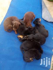 Young Female Purebred Doberman Pinscher | Dogs & Puppies for sale in Greater Accra, Teshie-Nungua Estates