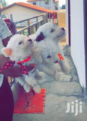 Baby Male Mixed Breed Maltese | Dogs & Puppies for sale in Greater Accra, Odorkor