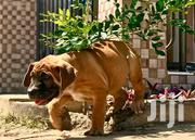 Baby Male Purebred Boerboel | Dogs & Puppies for sale in Greater Accra, Dansoman