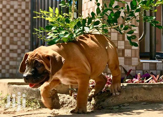 Archive: Baby Male Purebred Boerboel