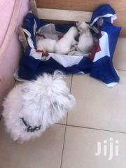 Maltese Puppies Available   Dogs & Puppies for sale in Greater Accra, Ashaiman Municipal