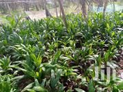 Oil Palm Seedlings   Feeds, Supplements & Seeds for sale in Central Region, Assin North Municipal