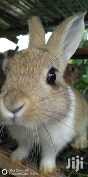 Healthy Rabbits and Guinea Pigs for Sale | Other Animals for sale in Ashanti, Atwima Kwanwoma