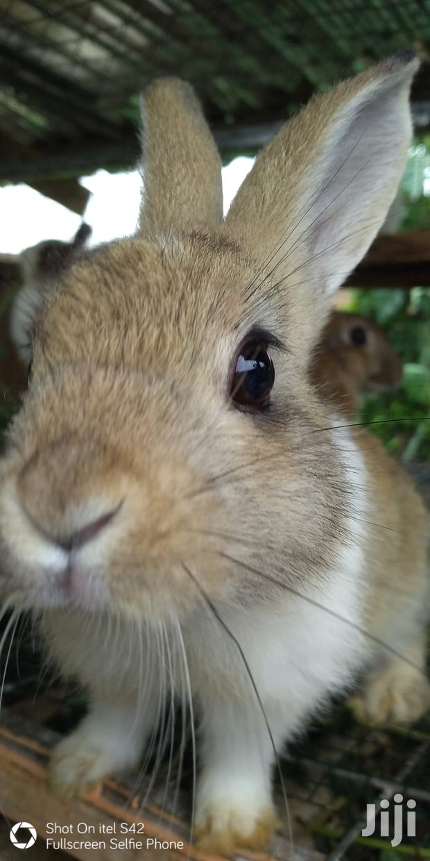 Archive: Healthy Rabbits and Guinea Pigs for Sale