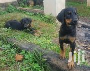 Baby Female Purebred Doberman Pinscher | Dogs & Puppies for sale in Greater Accra, East Legon (Okponglo)