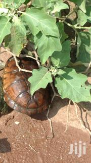 Turtle For Sale | Reptiles for sale in Greater Accra, Accra Metropolitan