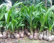 Certified Check Hybrid Coconut Seedlings | Feeds, Supplements & Seeds for sale in Greater Accra, Osu