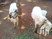 Big Sheep For Sale | Other Animals for sale in Northern Region, Kpandai