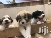 Baby Male Mixed Breed Poodle | Dogs & Puppies for sale in Greater Accra, Ashaiman Municipal