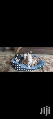 Baby Female Purebred American Pit Bull Terrier | Dogs & Puppies for sale in Greater Accra, Adabraka