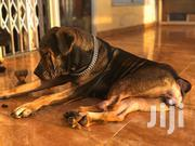 Adult Female Purebred Boerboel   Dogs & Puppies for sale in Greater Accra, East Legon