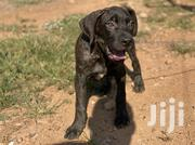 Young Female Purebred Boerboel | Dogs & Puppies for sale in Eastern Region, Asuogyaman