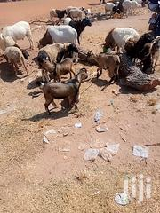 Short Goats For Sale | Livestock & Poultry for sale in Northern Region, Kpandai