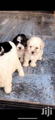 Pure Maltese | Dogs & Puppies for sale in Greater Accra, East Legon