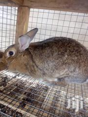 Quality Rabbit | Livestock & Poultry for sale in Greater Accra, Adenta Municipal