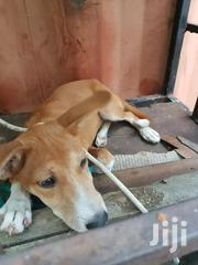 Baby Female Mixed Breed Mongrel (No Breed) | Dogs & Puppies for sale in Greater Accra, Osu