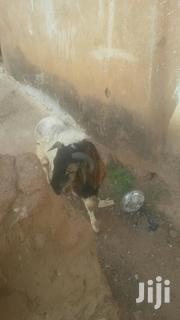 I Rare And Sell Sheep | Other Animals for sale in Northern Region, Tamale Municipal