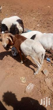 Sheep For Sell | Livestock & Poultry for sale in Northern Region, Kpandai