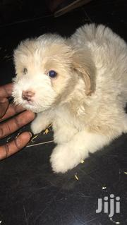Baby Female Purebred Poodle | Dogs & Puppies for sale in Greater Accra, Accra Metropolitan