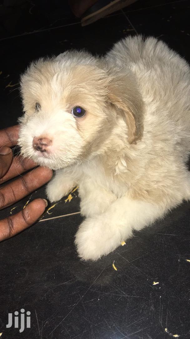 Archive: Baby Female Purebred Poodle