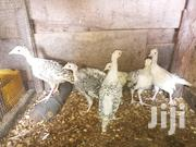 1 Month Old Turkeys | Livestock & Poultry for sale in Ashanti, Obuasi Municipal
