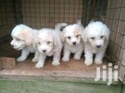 Baby Female Purebred Poodle | Dogs & Puppies for sale in Greater Accra, Adenta Municipal