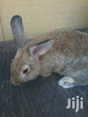 Rabbit For Sale | Other Animals for sale in Greater Accra, Adenta Municipal