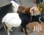 Sheep Selling | Livestock & Poultry for sale in Northern Region, Gushegu