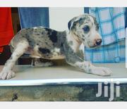Baby Male Purebred Great Dane | Dogs & Puppies for sale in Greater Accra, Accra Metropolitan