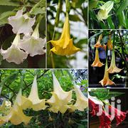 Morning Glory Flower Seeds 100pcs | Feeds, Supplements & Seeds for sale in Greater Accra, Kwashieman
