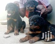 Baby Male Purebred Rottweiler | Dogs & Puppies for sale in Greater Accra, Achimota