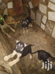 Young Male Purebred German Shepherd Dog | Dogs & Puppies for sale in Greater Accra, Mataheko