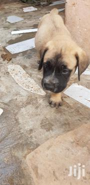 Baby Female Purebred Boerboel | Dogs & Puppies for sale in Greater Accra, Achimota