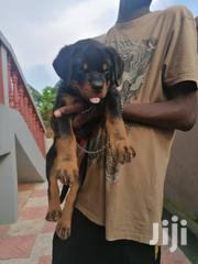Young Male Purebred Rottweiler | Dogs & Puppies for sale in Greater Accra, Accra Metropolitan