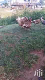 Bourbon Red Turkey | Livestock & Poultry for sale in Ashanti, Kumasi Metropolitan