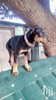 Baby Female Purebred Doberman Pinscher | Dogs & Puppies for sale in Greater Accra, Nungua East