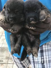 Baby Male Purebred German Shepherd Dog   Dogs & Puppies for sale in Greater Accra, Tema Metropolitan