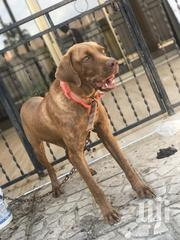 Young Male Mixed Breed Boerboel | Dogs & Puppies for sale in Greater Accra, Ga West Municipal