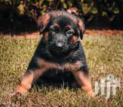 Young Male Purebred German Shepherd Dog   Dogs & Puppies for sale in Greater Accra, Accra Metropolitan