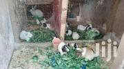 Matured Guinea Pigs | Livestock & Poultry for sale in Ashanti, Kumasi Metropolitan