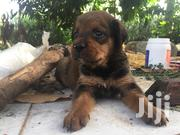 Baby Male Mixed Breed Rottweiler | Dogs & Puppies for sale in Greater Accra, Ga West Municipal