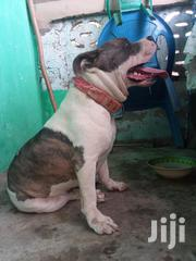 Young Male Purebred American Pit Bull Terrier | Dogs & Puppies for sale in Greater Accra, Accra Metropolitan