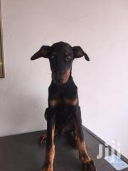 Young Male Purebred Doberman Pinscher | Dogs & Puppies for sale in Greater Accra, Dansoman