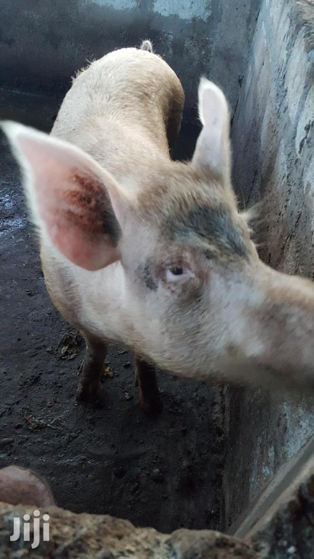 Archive: Strong Boar For Sale
