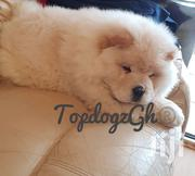 Purebreed White Chowchow Available | Dogs & Puppies for sale in Greater Accra, Ashaiman Municipal