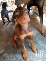 Baby Female Purebred Doberman Pinscher | Dogs & Puppies for sale in Greater Accra, Dansoman