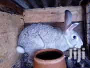 RABBITS | Livestock & Poultry for sale in Greater Accra, Odorkor